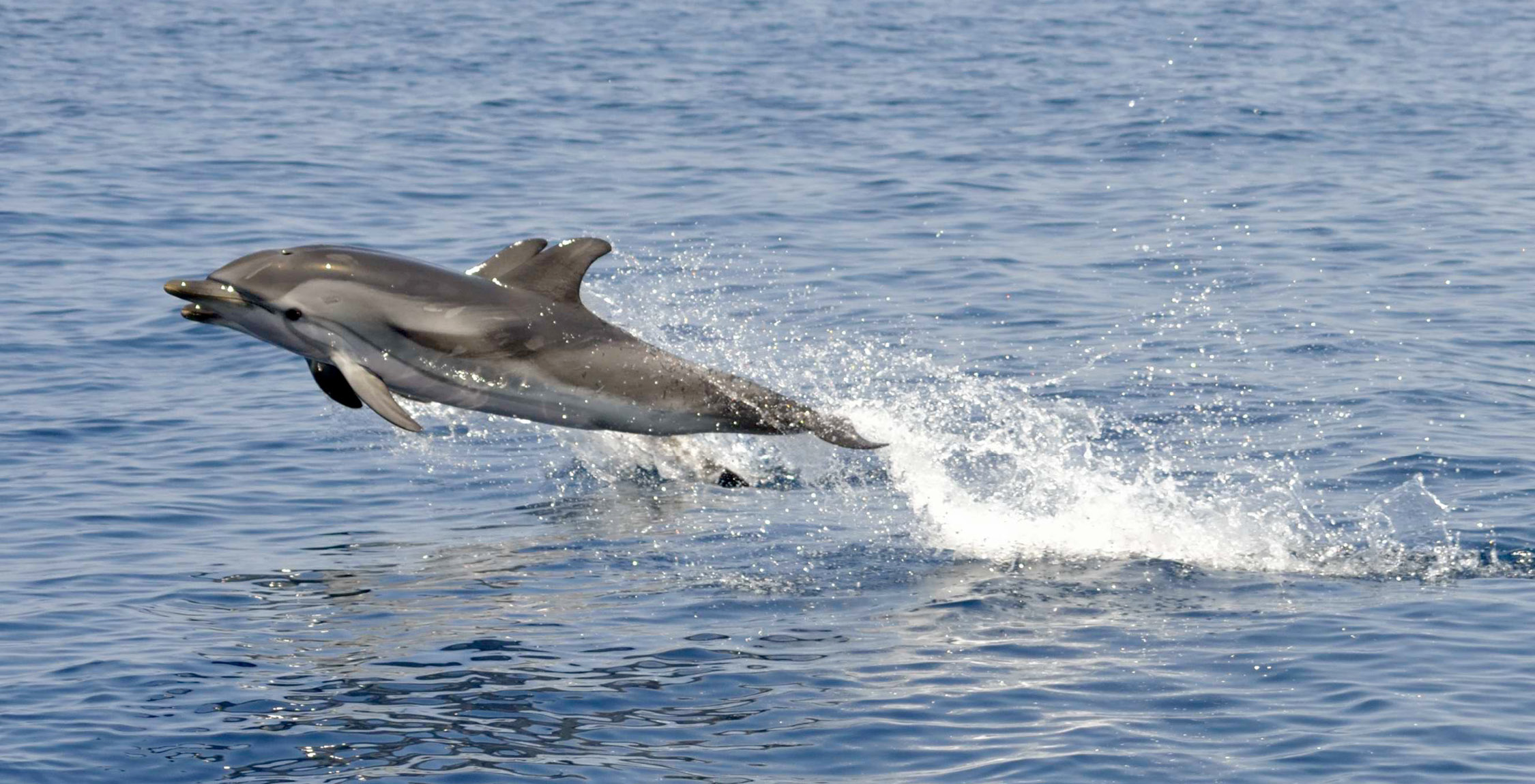 Tinazzi_Jonian_Dolphin_Conservation